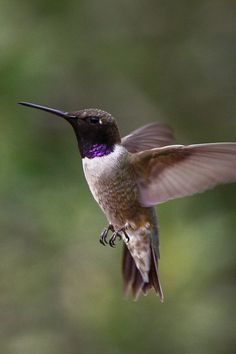 Black-Chinned Hummingbird Photo by Oleg Gurvits