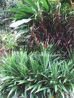 El Arish Tropical Exotics: Lush Tropical Plants for Australia: Buying Pandanus Amaryllifolius Online From El Arish Tropical Exotics