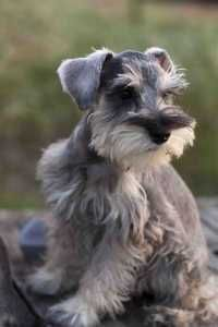 we'd like two of these little babies...salt-and-pepper mini schnauzers!
