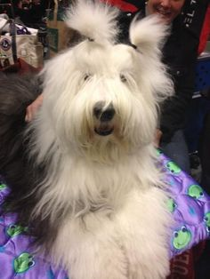 Old English Sheepdog - Westminster Dog Show Do these pony tails make my head look BIG?  Really....be honest.
