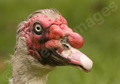 black and white photographed ugly birds | Mia Lewis Images: An Ugly Muscovy Duck!!
