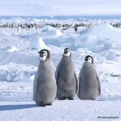 Penguin Day, Emperor Penguin, Nature Gif, Cute Penguins, Wild Life, Cute Animals, World, Heart, Beautiful