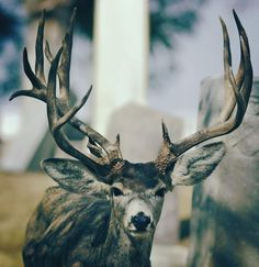 The Famous SLC Cemetery Buck Finally Made his BIG Mistake.