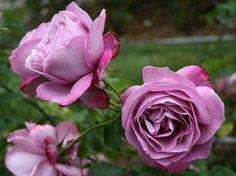heirloom hybrid tea rose - Google Search