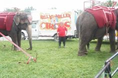 Elephants with the Kelly Miller circus and a trainer with a bullhook.