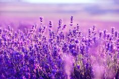 """Relaxing harp music for stress relief (called """"Purple Flowers"""") that can be used as sleep music, background music, meditation music spa music and study music. Lavender Fields, Lavender Flowers, Purple Flowers, Lilac Color, Rose Flowers, Lavender Oil, Relaxing Harp Music, Provence, Lavender Benefits"""