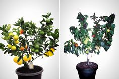 This 1 tree grows 7 different kinds of fruit. Crazy!