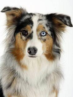 Australian Shepherds, Aussie Shepherd, Australian Shepherd Puppies, Aussie Puppies, Dogs And Puppies, Doggies, Big Dogs, Corgi Puppies, Blue Merle Australian Shepherd