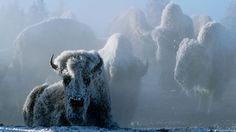 PBS Christmas in Yellowstone  Academy Award winner Linda Hunt narrates this mesmerizing program that captures winter in the wilderness in all of its splendor. Here are sights that only a fraction of Yellowstone's almost three million visitors each year are privileged to see. Buy the film. Christmas in Yellowstone premiered in November 2006. (Video limited to US & Territories).