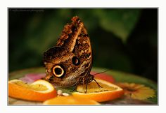 butterfly and orange slices by Verena Redfox Gredler on 500px