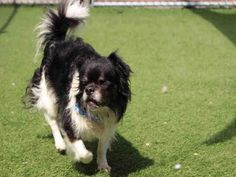 JACKSON is an adoptable Pekingese searching for a forever family near Orange, CA. Use Petfinder to find adoptable pets in your area.