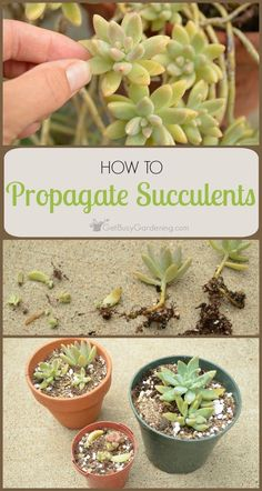 Succulents Make Great Houseplants And They Are Very Easy To Propagate. How  To Propagate Succulents