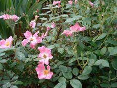 Shrub Rose - Nearly Wild