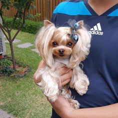Yorkshire … – -You can find Yorkie and more on our website. Yorkshire Terrier Haircut, Yorkshire Terrier Puppies, Teacup Yorkie, Yorkie Puppy, Cute Puppies, Cute Dogs, Dogs And Puppies, Poodle Puppies, Funny Dogs