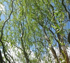 The Corkscrew Willow Tree is fast-growing tree that is a graceful, weeping variety maturing to a height of 30 feet. Corkscrew Willow Trees are very adaptable to poorly drained soil and will withstand both full-sun exposure and partial shade. Willow Branches, Willow Tree, Love Garden, Lawn And Garden, Garden Roses, Garden Plants, Fast Growing Shade Trees, Natural Fence, Curly Willow