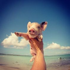 You know whats better than bacon? Swimming with baby pigs...  Instagram travelquote