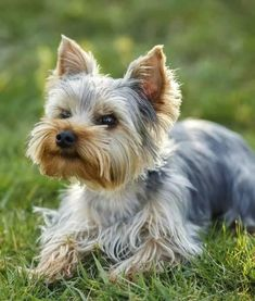 10 Cool Facts About Yorkshire Terriers #yorkshireterrier