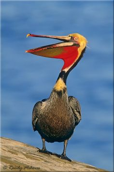Louisiana Brown Pelican Clip Art | brown-pelican-b0701-brown-pelican-b0701.jpg