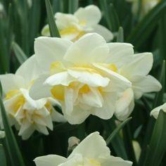 Narcissus White Lion