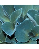 Blue Mouse Ears Hosta with soft, densely-held blue-green foliage. Hosta Plants, Shade Perennials, Foliage Plants, Flowers Perennials, Shade Plants, Garden Plants, Planting Flowers, Small Gardens, Outdoor Gardens