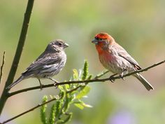 A pair of House Finches.  Also appearing regularly at the feeders.
