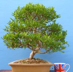 EXCEPTIONAL Szechwan Pepper Specimen Bonsai Tree