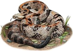Full color illustration of a Timber or Canebrake Rattlesnake (Crotalus horridus)