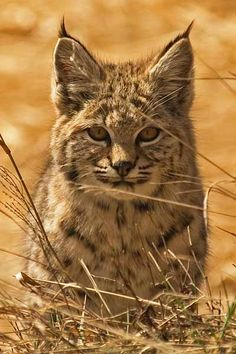 Bobcat in the park. Rocky Mountain National Park
