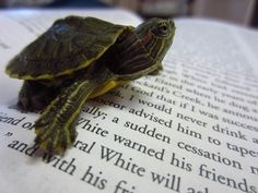 The Best Of Baby Turtles II - a literary baby red-eared slider!
