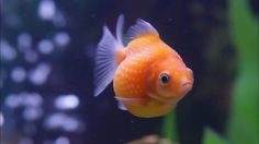 I used to have a Pearl scale goldfish like this!!
