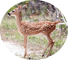 Florida Key Deer Among The First Casualties of the Gutted Endangered Species Act Nature Animals, Animals And Pets, Baby Animals, Funny Animals, Cute Animals, Animal Babies, Forest Animals, Wild Animals, Wtf Fun Facts
