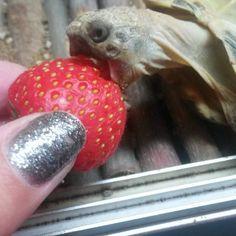 Chantelle's tort, going for the sweet stuff! Russian Tortoise Care, Tortoises, Sweet Stuff, Turtles, Reptiles, Community, Tortoise, Turtle