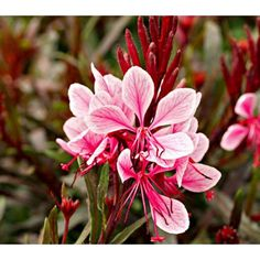 Gaura Passionate Blush - White Flower Farm *WISH I lived in the south* Common Name: Gaura Hardiness Zone: S / W Height: Exposure: Full Sun Blooms In: July-Sept Spacing: Ships as: Plastic Pot - cu. Flowers Perennials, Planting Flowers, Pretty Flowers, Pink Flowers, Gaura, White Flower Farm, Blush, Water Wise, Garden Oasis