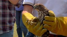 Hawk Escapes Hurricane Harvey by Car, Then Is Set Free http://news.nationalgeographic.com/2017/09/hurricane-harvey-hawk-rescue-video-spd/?utm_campaign=crowdfire&utm_content=crowdfire&utm_medium=social&utm_source=pinterest
