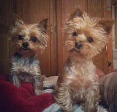 Yorkie cuteness- makes me want to adopt a friend for Bradley...