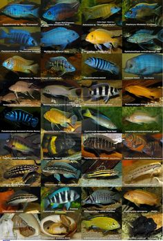 There are many species of African cichlids, including the rock-dwelling cichlids from Lakes Malawi and Tanganyika. Description from pinterest.com. I searched for this on bing.com/images