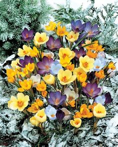 Cheap gift keyring, Buy Quality gift love directly from China bonsai news Suppliers: 100 Crocus Seeds April Carnival Crocus Collection Seeds Flower Bonsai Home Garden Ground Cover Plant +Mystery Gift Spring Flowering Bulbs, Spring Bulbs, Spring Blooms, Spring Flowers, Garden Bulbs, Planting Bulbs, Bonsai, Crocus Bulbs, Sutton Seeds