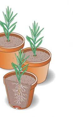 Bewurzelte Stecklinge in Töpfe umsetzen Bis zum Winter beziehungsweise im Lauf des Frühjahrs bilden die jungen Stecklinge die ersten Wurzeln. Wenn Sie die Stecklinge in einer Anzuchtschale bewurzelt haben, sollten Sie sie jetzt einzeln in Töpfe umsetzen, da sie sich sonst zu stark bedrängen. Bei der Vermehrung im Spätsommer müssen Sie die Jungpflanzen während der Wintermonate an einem hellen und frostfreien Ort aufbewahren. Bei der Frühjahrsvermehrung ist das in der Regel nicht nötig.
