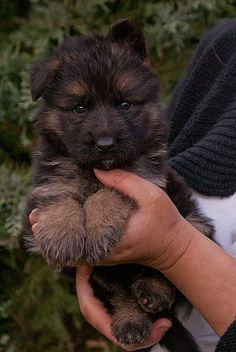 German Shepherd Puppy....M.Taylor: Looks like a Yorkiepoo to me? It doesn't seem to have the regular German triangular head like most/ Perhaps just because it is still a puppy? Or I am more blind than originally thought? Still cute no matter what it is!