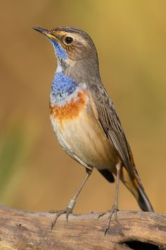 Bluethroat / bird watching
