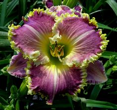 Daylilies - The Perfect Perennial - Page 2 of 2 - Home and Garden Digest
