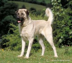 Anatolian Shepherd Dogs are highly territorial and possessive of their charges. Anatolian Shepherd Dog information, Anatolian Shepherd Dog pictures, Anatolian Shepherd Dog puppies Anatolian Shepherd Puppies, Shepherd Dog, Pet Breeds, Puppy Breeds, Kangal Dog, Dog Breed Info, Farm Dogs, Dog Information, Dog Names