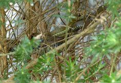 Montpellier snake at Gibraltar