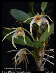 Diplocaulobium chrysotropsis. A species orchid (color)