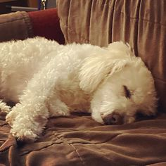 Peanut Pictures, Mini Poodles, Poodle Mix, Life Photo, Dog Life, Dogs, Animals, Animales, Animaux
