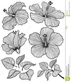 Illustration about Hibiscus flower graphic head set with leaves and branch with leaves isolated on white background. Illustration of hibiscus, drawn, hand - 52644476 Doodle Drawing, Doodle Art, Drawing Step, Drawing Ideas, Plant Drawing, Painting & Drawing, Floral Drawing, Hibiscus Flower Drawing, Orchid Drawing