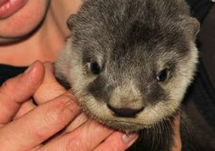 This Young Cape Clawless Otter which is approximately 5-8 weeks old was rescued by a local farmer in Titsikamma as she was found abandoned. She arrived late on Wednesday evening and was well looked after by our animal keepers as she was in very critical condition. On Thursday and Friday, we tried to reunite her with her mom and drove out to the locality but it proved to be unsuccessful.
