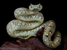 Usamba Bush Viper (Atheris cerataphora)   #snake #reptile #photo #biodiversity