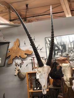 Oryx Gemsbok and Other African Horns   Dealer #4034  $75 and up   Lucas Street Antiques Mall 2023 Lucas Dr.  Dallas, TX 75219 Animal Skulls, Horns, Mall, African, Street, Antiques, Antiquities, Horn, Antique