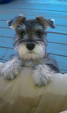 """Determine even more information on """"schnauzer dog"""". Visit our site. Informations About Determine even more information on """"schnauzer dog"""". Schnauzer Grooming, Miniature Schnauzer Puppies, Schnauzer Puppy, Schnauzers, Puppy Grooming, Cute Puppies, Cute Dogs, Silly Dogs, Most Popular Dog Breeds"""